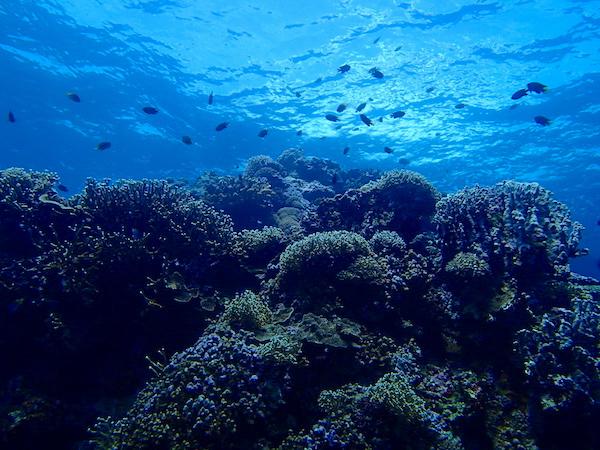 野原ケーブの珊瑚