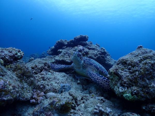 石垣島ダイビングウミガメ2019年3月26日