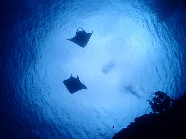 石垣島体験ダイビング黒島2019年4月2日マンタ