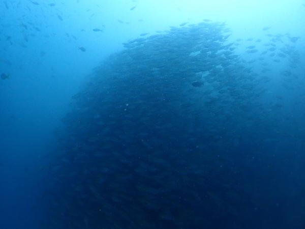 タイ(タオ島)の魚影