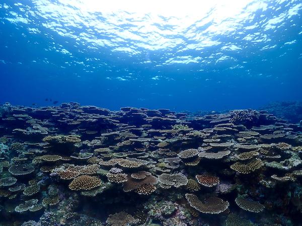 石垣島FUNダイビングのサンゴ2019年6月25日