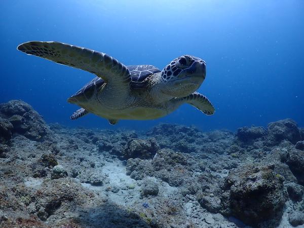 沖縄県石垣島体験ダイビングのウミガメ2019年7月16日